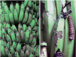 Feeding damage on bananas and close-up of caterpillar