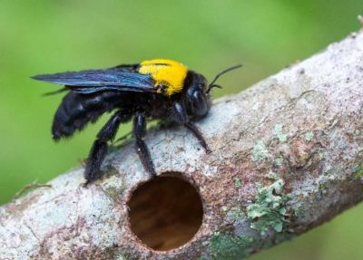 <h3>Carpenter bee</h3> (<em>Xylocopa sp</em>)