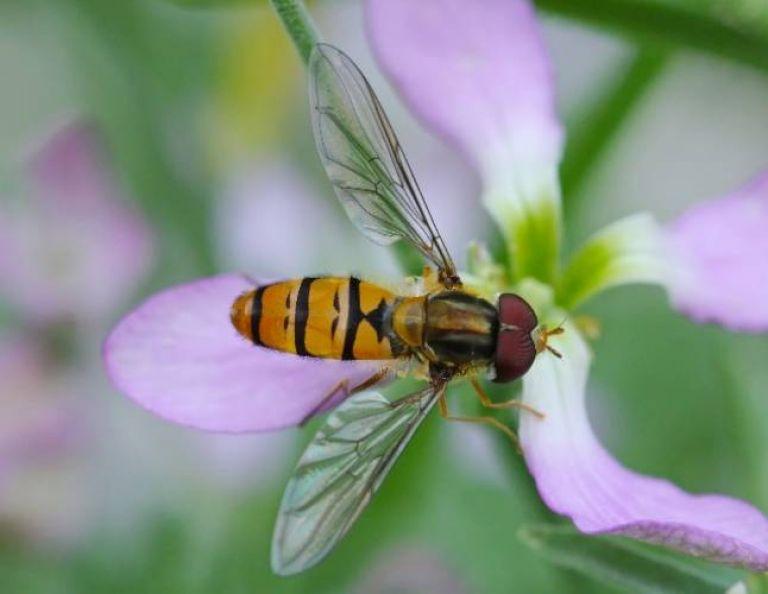 <h3>Hover flies</h3> (<em>Syrphidae</em>)