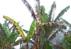 Panama disease