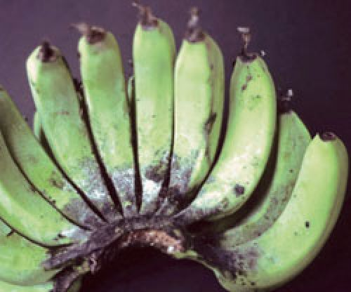 Banana fruit infected with sooty mould fungi