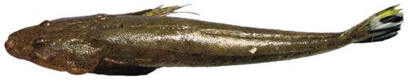 Yellowtailed flathead (Platycephalus endrachtensis)