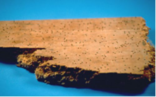 A piece of timber showing small holes