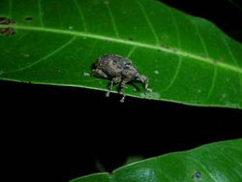 Adult mango seed weevil on mango leaf