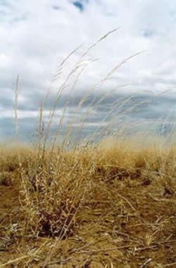 Feathertop wire grass seed heads in dry pasture