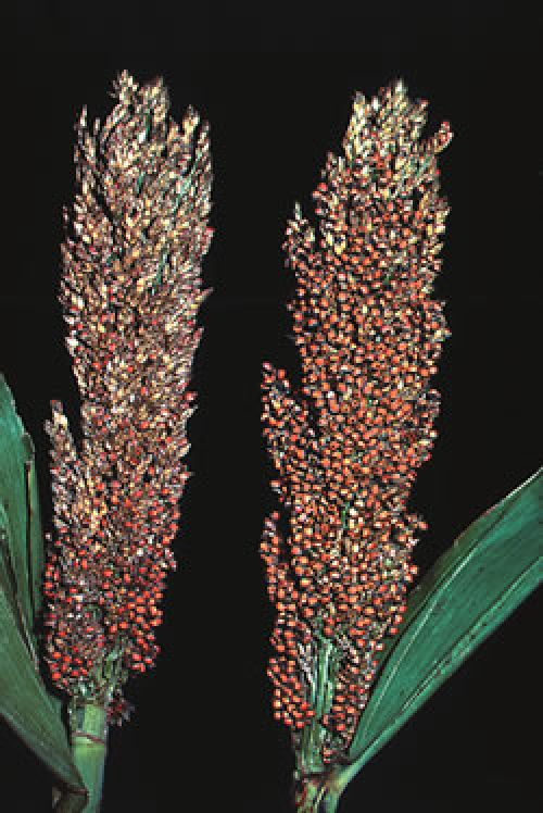 Image shows severe damage caused by sorghum midge to sorghum head