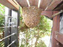 Asian honey bee nest on garden furniture