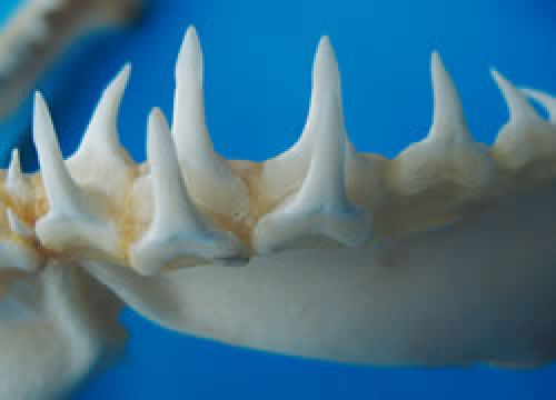 The lower teeth of the speartooth shark, which are long, narrow and erect with spear-like tips. The upper teeth are broadly triangular, erect and serrated