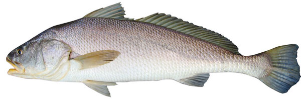 Black jewfish (Protonibea diacanthus)