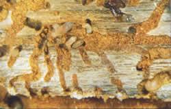 Five-spined bark beetle larvae on a pine log