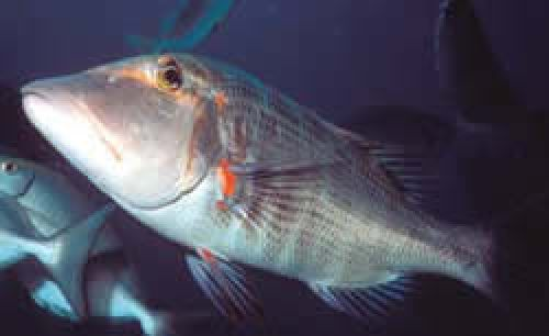Photo of an adult Sweetlip emperor under water