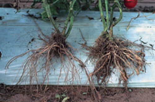 Healthy v infected tomato roots