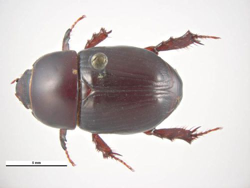 Dorsal view of female african black beetle