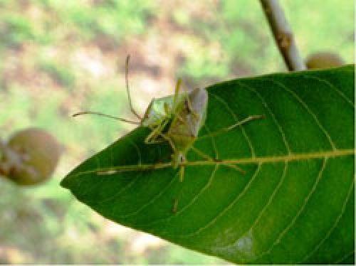 Amblypelta nitida on longan