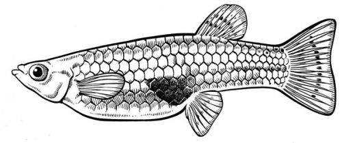 Drawing of a female gambusia or mosquitofish