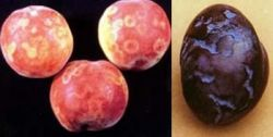 Fruit symptoms of plum pox