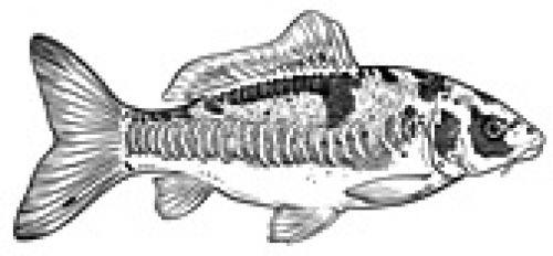 Drawing of a mirror carp