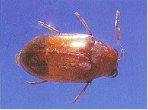 Adult Queensland pine beetle