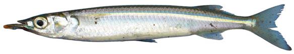 Snubnose garfish (Arrhamphus sclerolepis)