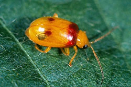 Redshouldered leaf beetle adult showing red-purple patches on shoulders