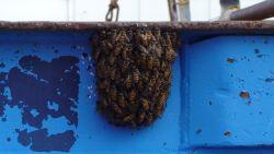 Asian honey bee swarm found on ship