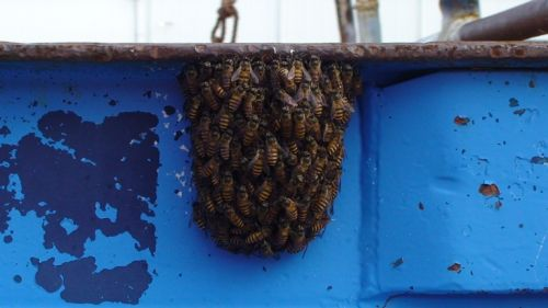 Asian honey bee swarm found on ship