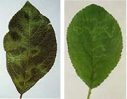 Plum Pox leaf symptoms