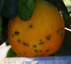Photograph of Citrus Canker Fruit disease