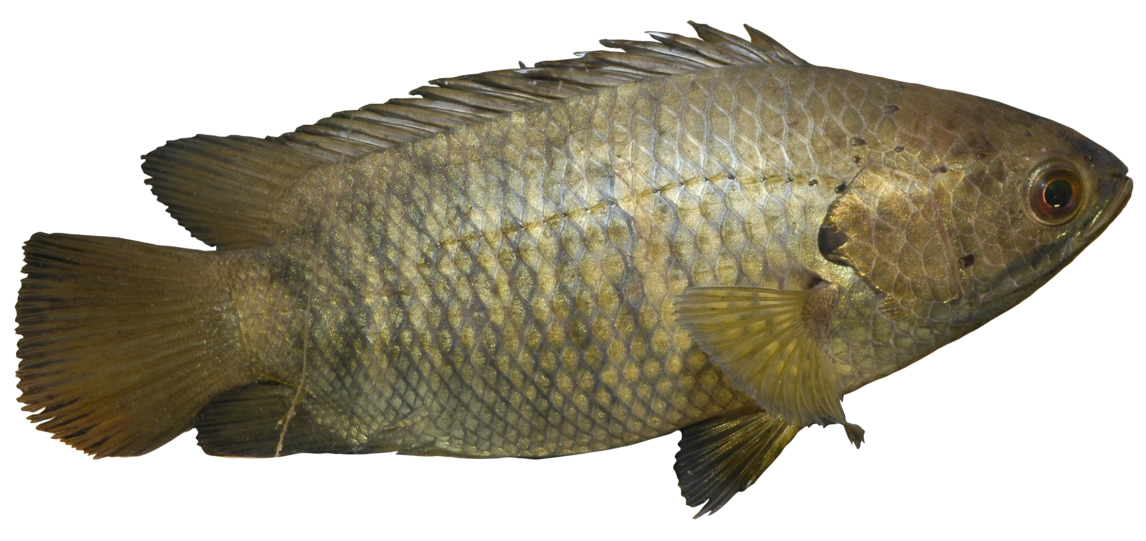 Climbing perch: declared noxious fish