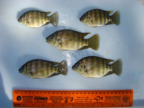 Image of 5 spotted tilapia