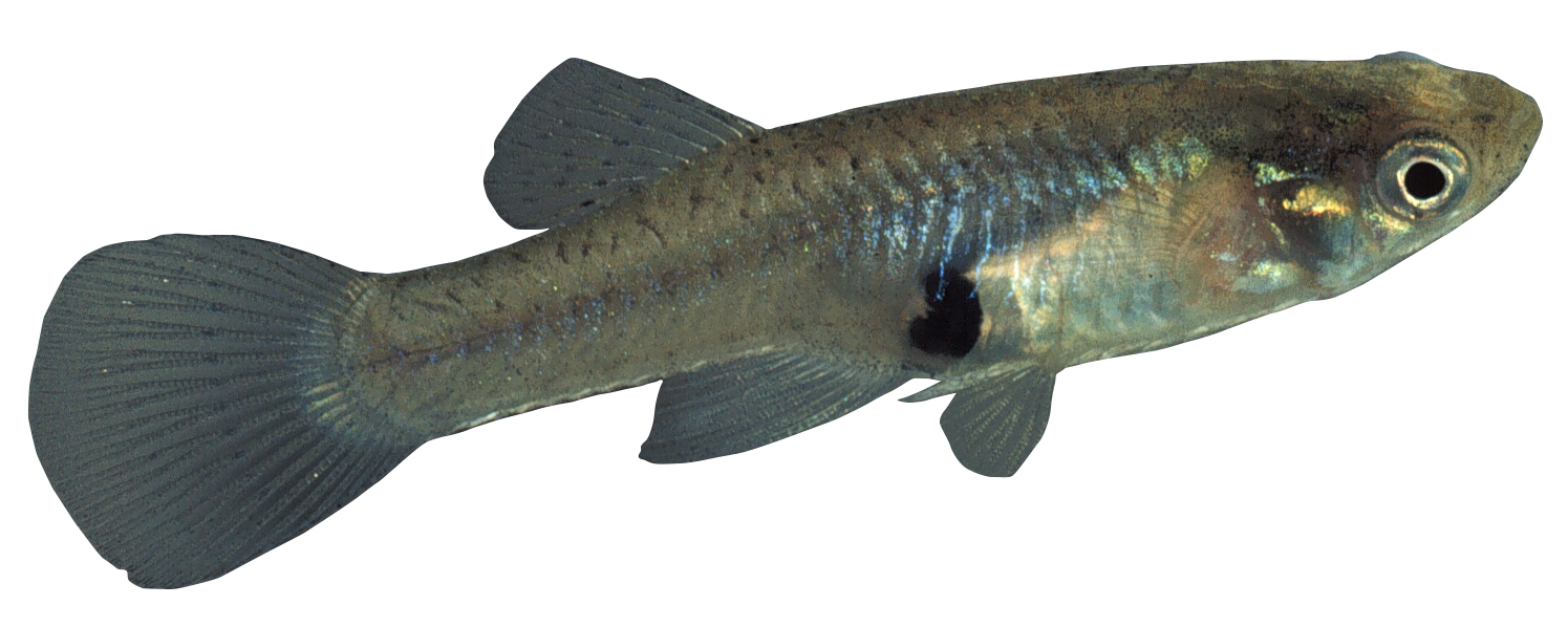 Gambusia or mosquitofish for Mosquito fish facts