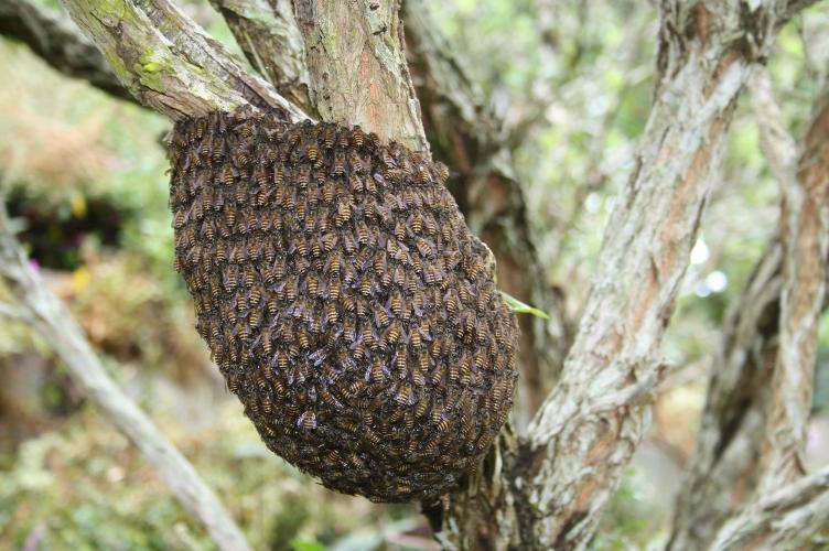 Honey bees nest in tree - photo#23
