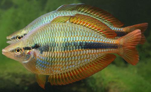 Freshwater fish species identification