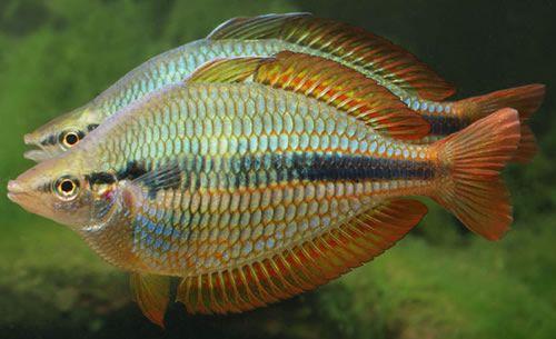 Rainbow fish for Rainbow fish species