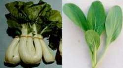 A bunch of white-stemmed pak choy (buk choy) (left) and a young green-stemmed Shanghai pak choy plant (right)