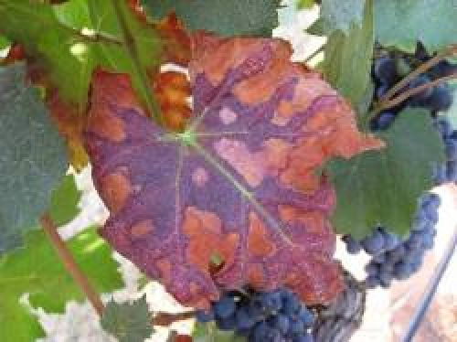 Advanced symptoms of Pierce's disease on a merlot grapevine leaf