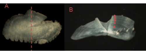 ear bones of barramundi photographed under a microscope – Photo on left is whole otolith with cut indicated and Photo on the right is a sectioned otolith with annual rings marked.