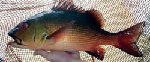 Photo of an adult red bass