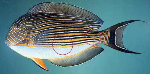 Photo of a lined surgeonfish