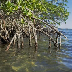 Photograph of a mangrove tree, showing roots