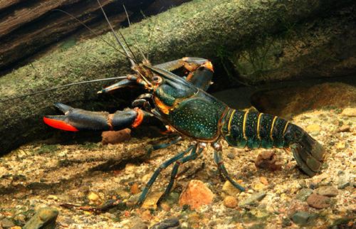 Redclaw crayfish