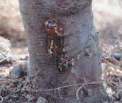 Infected tree