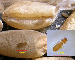 A photo of psocids on grain with size scale