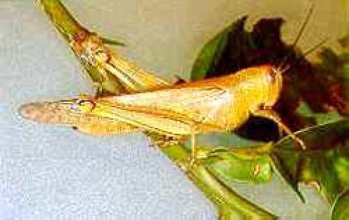 Giant grasshopper adult