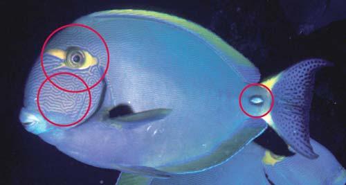 Photo of an Eyestripe surgeonfish