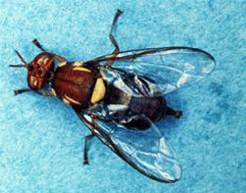 Adult Queensland fruit fly (Bactrocera tryoni)