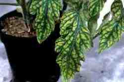Photo of a plant with Tomato leaf curl virus - after 35 days there is marked leaf curling and interveinal yellowing