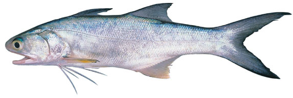 Blue threadfin (Eleutheronema tetradactylum)