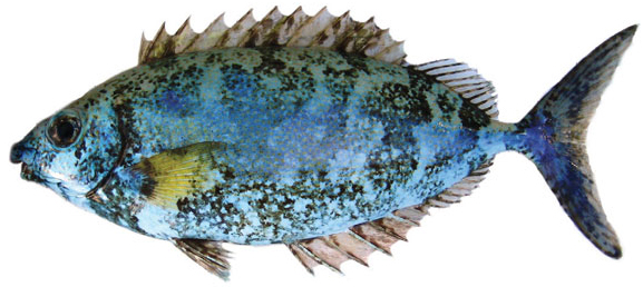 Scribbled rabbitfish (Siganus spinus)