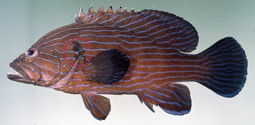 Photo of Blue-lined rockcod
